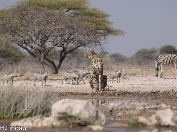 Cheetah am Wasserloch.jpg